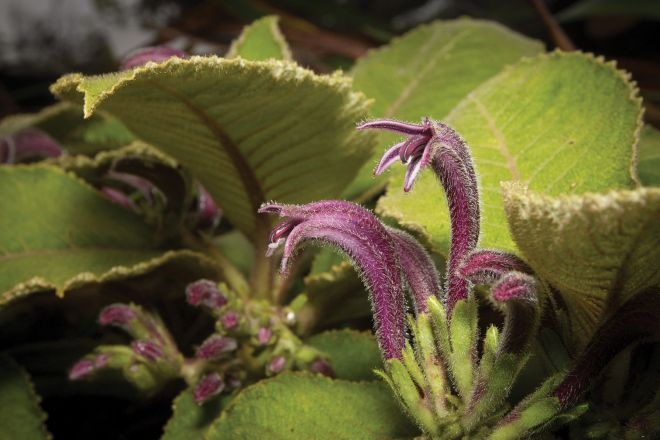 The hairy flowers and leaves of Cyanea konahuanuiensis. Purple flowers appear June-August. (photo credit: www.eol.org)
