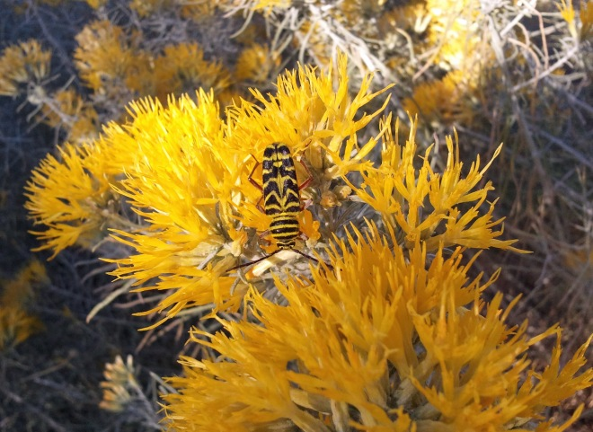 Locust borer meets rubber rabbitbrush (Ericameria nauseosa)