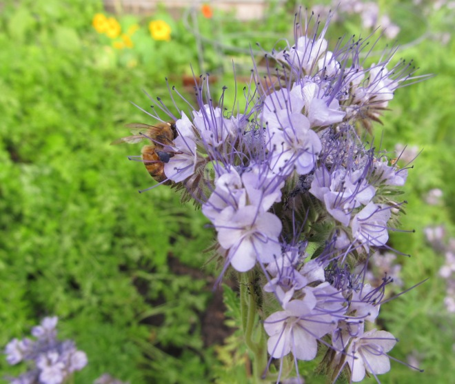 Honey bee on bee's friend (Phacelia tanacetifolia)