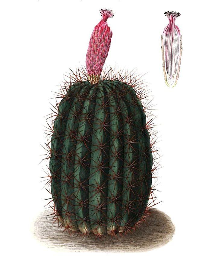 Denmoza rhodacantha illustration - image credit: www.eol.org