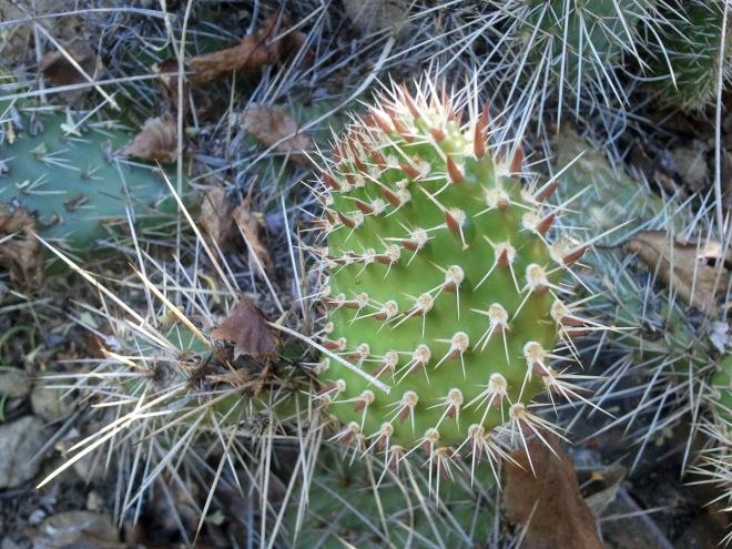 Pads of Opuntia polyacantha