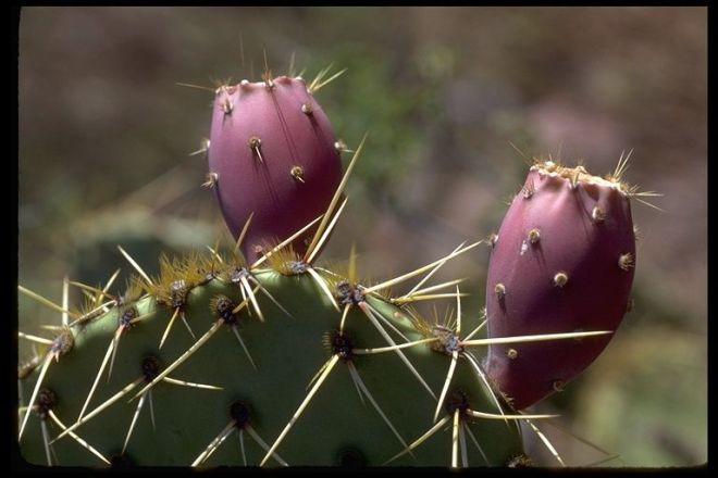 "Fruits (""tunas"") of Opuntia engelmannii - photo credit: www.eol.org"