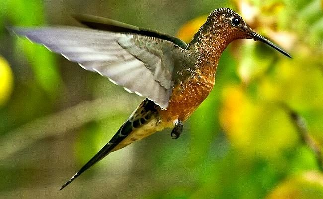Patagona gigas (giant hummingbird) was observed approaching the flower of a Denmoza rhodacantha but quickly turned away (photo credit: www.eol.org)