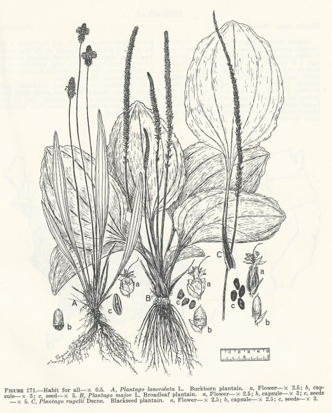 An illustration of three Plantago species found in Selected Weeds of the United States - Agriculture Handbook No. 366 circa 1970