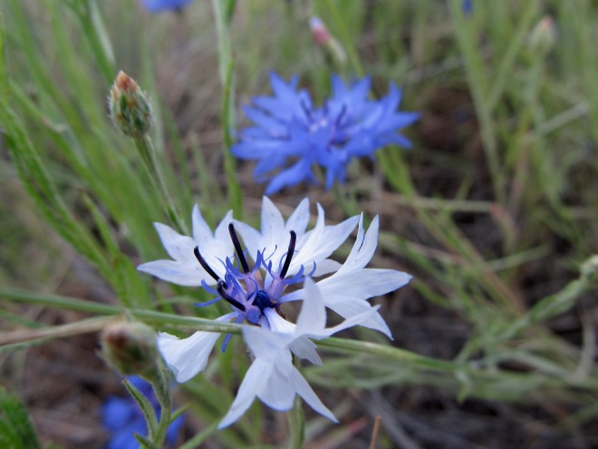 Bachelor's Buttons (Centaurea cyanus) are native to Europe. They are a common cultivated flower and have escaped from yards into the foothills. They are quite attractive and popular among pollinators. Their flowers and stems are edible so perhaps we should all take to eating them.