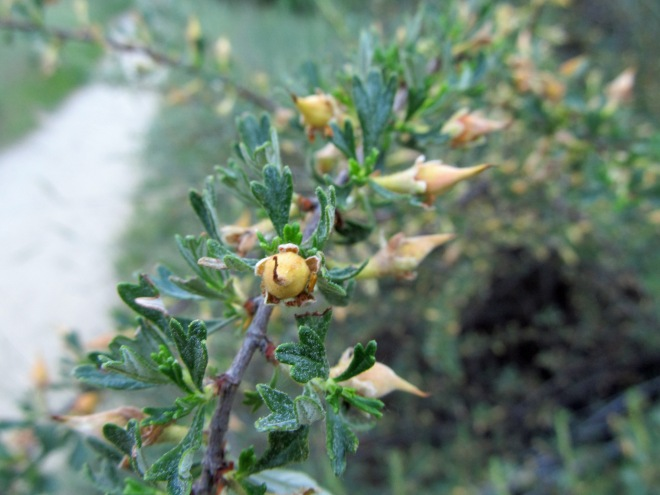 Fruits forming on antelope bitterbrush (Purshia tridentata), one of several shrubs native to the Boise Foothills.
