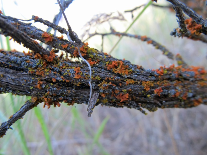 Lichens on the branch of basin big sagebrush (Artemisia tirdentata sbsp. tridentata) another common native shrub.