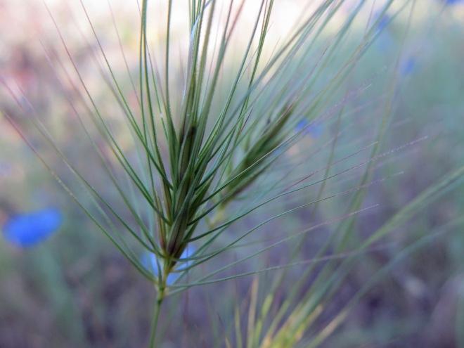 Medusahead (Taeniatherum caput-medusa) is an invasive annual grass from Eurasia. It has an ecological impact similar to cheatgrass (Bromus tectorum).