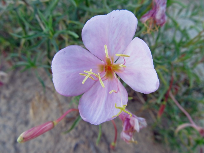Pale evening primrose (Oenothera pallida) - a foothills native pollinated by nocturnal moths.