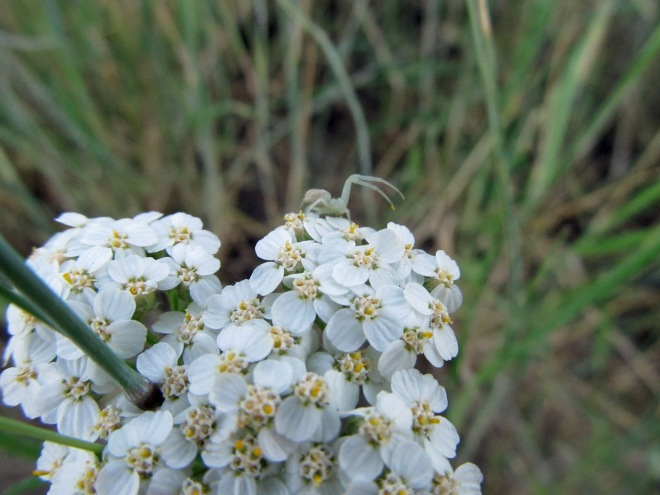Little spider atop the flowers of western yarrow (Achilea millefolium), a foothills native.
