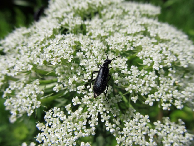 Blister beetle on carrot flowers (a preferred food source of flies). Beetles can be important pollinators, even despite chewing on the flowers as they proceed.
