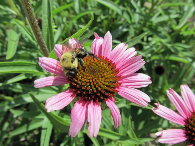 Bumblebee on Echinacea sp.