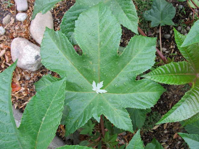 Silver maple leaf nestled in the center of a castor bean leaf.