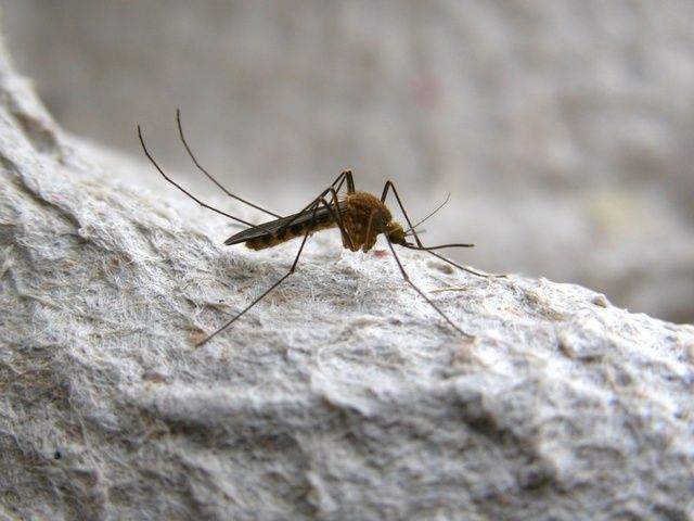 Northern House Mosquito (Culex pipiens) - one of the species of mosquitoes that has been observed pollinating Silene otitis. photo credit: www.eol.org