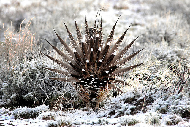 A view from behind a male greater sage-grouse (Centrocercus urophasianus ) - photo credit: wikimedia commons