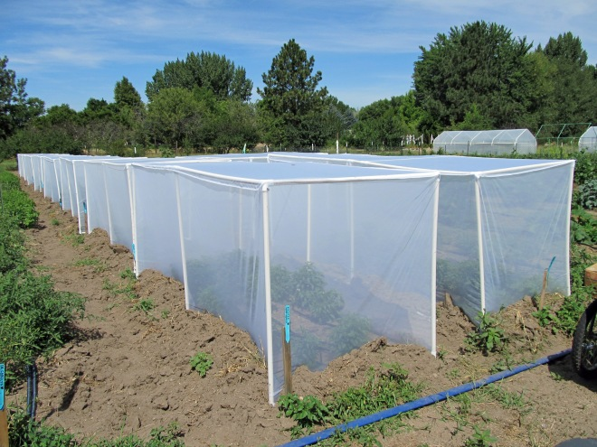 A series of isolation tents over various crops to help prevent cross pollination between varieties.