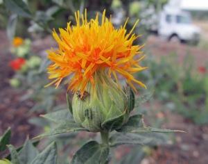 safflower flower 1