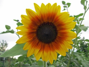 sunflower without honeybee