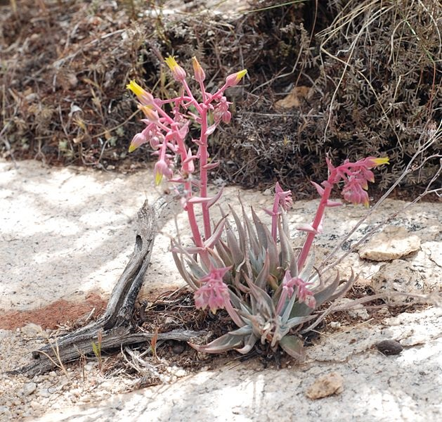 Dudleya saxosa (panamint liveforever) - photo credit: wikimedia commons