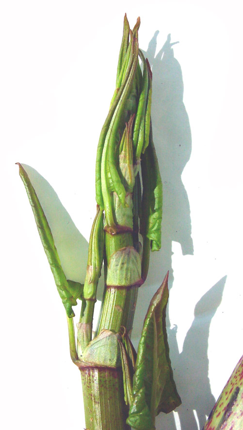 Japanese knotweed (Fallopia japonica) is listed as one the 100 Worst Invasive Species - photo credit: wikimedia commons