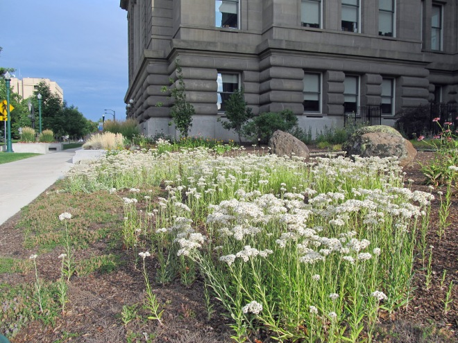 A drift of pearly everlasting (Anaphalis margaritacea)