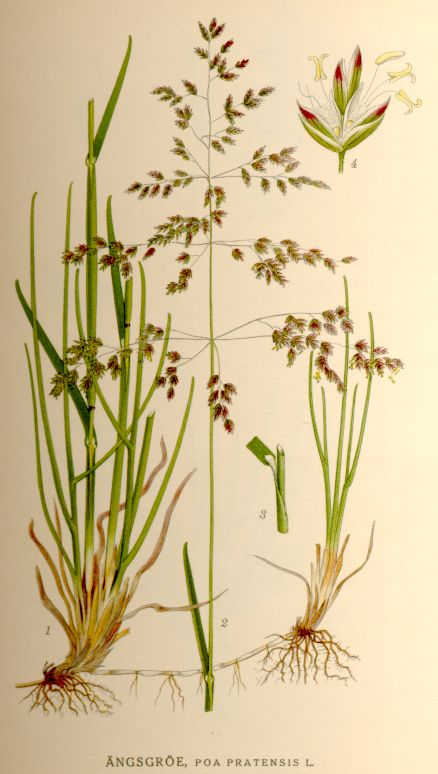 Kentucky bluegrass (Poa pratensis) also known as smooth meadow-grass - photo credit: wikimedia commons