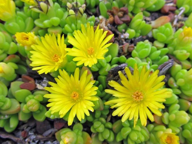 Yellow ice plant (Delosperma nubiginum)