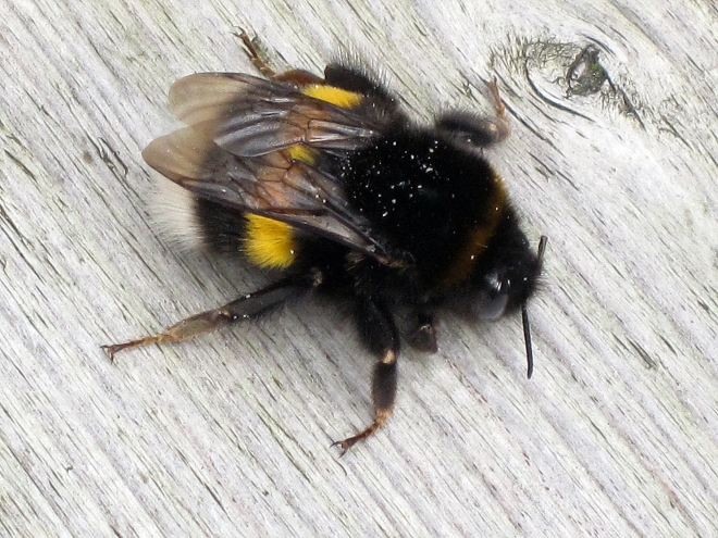Buff-tailed Bumblebee (Bombus terrestris) - photo credit: wikimedia commons