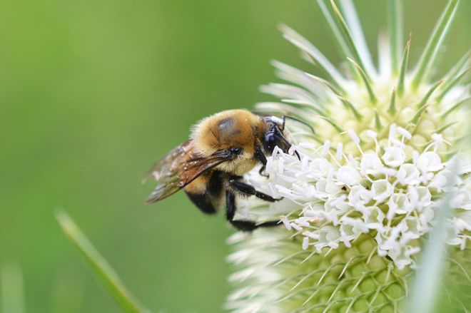 Brown-belted Bumblebee (Bombus griseocollis) - photo credit: wikimedia commons