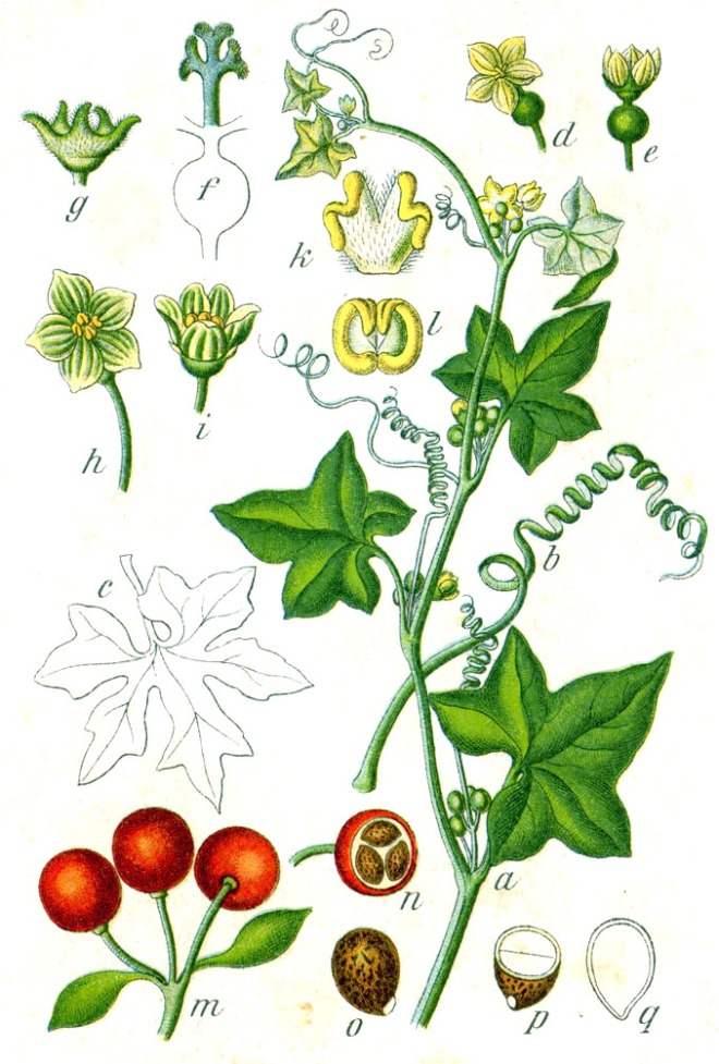 White bryony (Bryonia dioica) - photo credit: wikimedia commons