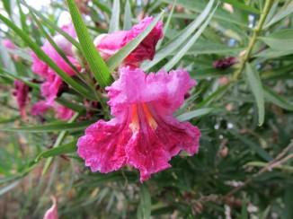 chilopsis flowers 1