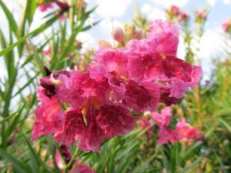 chilopsis flowers 2