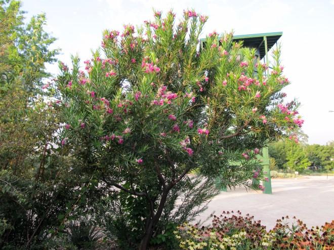 Desert Willow - Chilopsis linearis