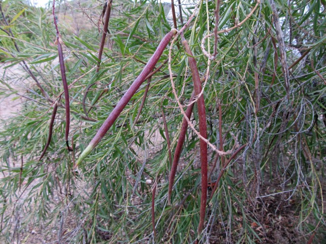 The fruits of Chilopsis linearis.