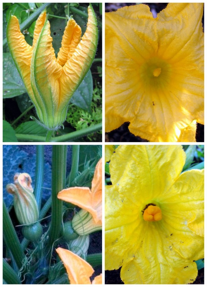 Cucurbit flowers: male (top) and female (bottom) - photo credit: wikimedia commons