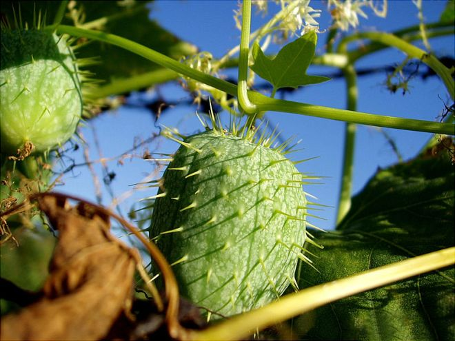 The spiky fruits of wild cucumber (Echinocystus lobata) - photo credit: wikimedia commons