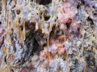 moon tree sap_close up