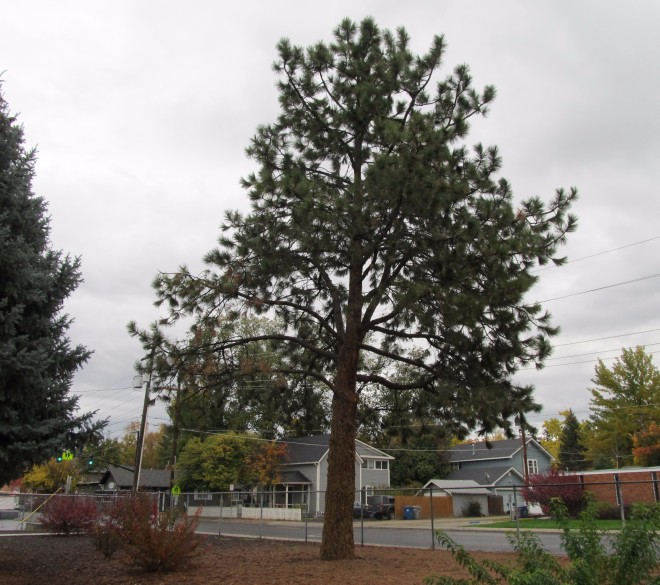 Loblolly pine (Pinus taeda) at Lowell Elementary in Boise, Idaho - one of many Moon Trees planted in the late 1970's.