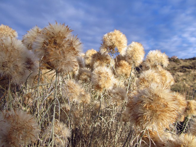 Seed heads of rubber rabbit brush (Ericameria nauseosa)