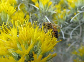 rubber rabbitbrush flowers with honeybee