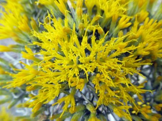 rubber rabbitbrush flowers