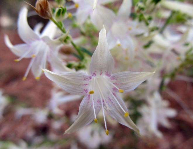 Scarlet gilia (Ipomopsis aggregata) with white flowers