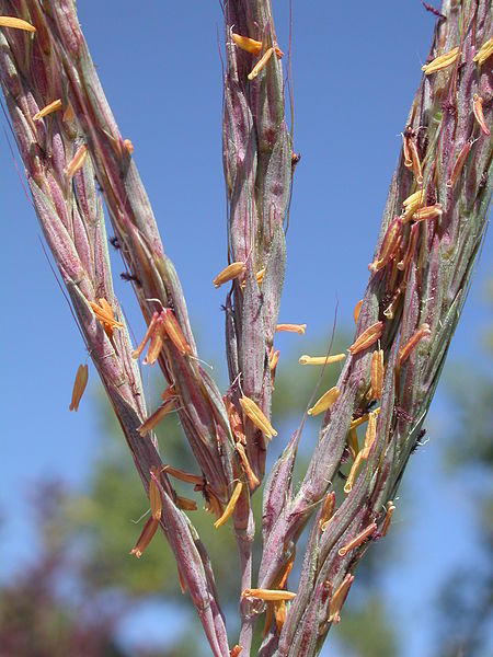 Inforescence of big bluestem (Andropogon gerardii), a wind pollinated plant - pohto credit: wikimedia commons