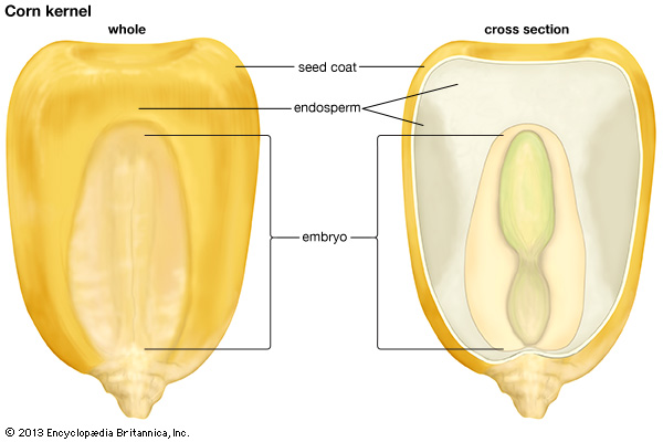 The cross section of a corn kernel showing the endosperm and the embryo (image credit: Encyclopedia Britannica Kids)