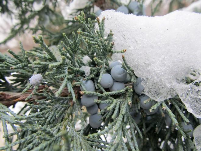 juniper in the snow