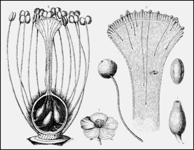 The illustration on the left includes the cross-section of a pistil showing the inside the ovary where pollen tubes have made their way to the ovules. The illustration on the right shows pollen grains germinating on a stigma and their pollen tubes begining to work their way down the style. (photo credit: wikimedia commons)