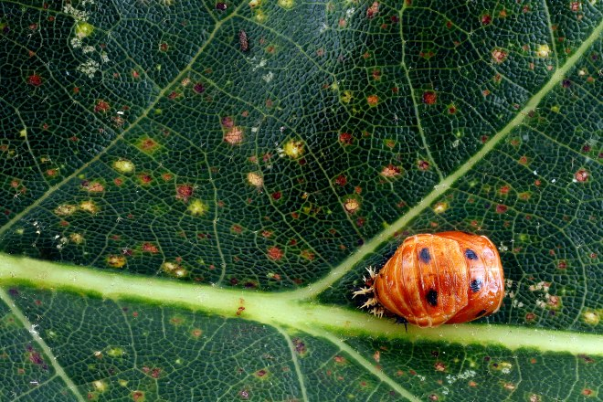 Pupa of ladybird beetle on white oak leaf (photo credit: wikimedia commons)