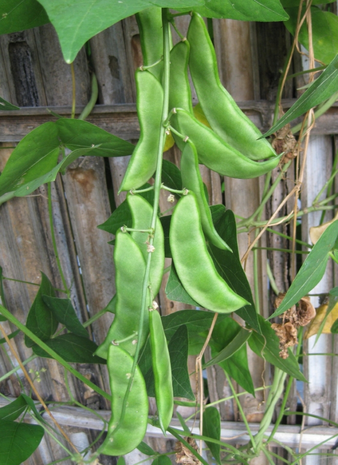 Fruits of lima bean (Phaseolus lunatus) - photo credit: wikimedia commons