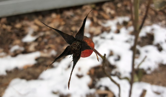 rose hip in winter 2