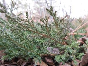 Juniperus horizontalis (Horizontal Juniper)